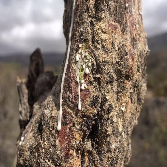 boswellia-serrata-frankincense3.