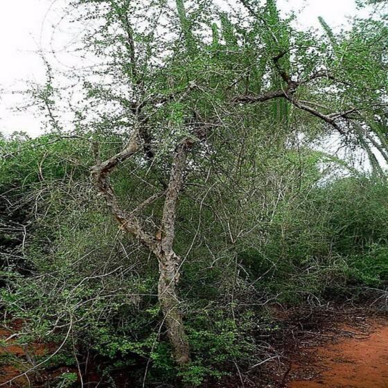 commiphora-erythrea-opopanax3.